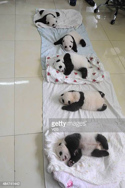 YA'AN CHINA AUGUST 21 Newborn panda cubs are seen at Ya'an Base on August 21 2015 in Ya'an Sichuan Province of China Ten newborn panda cubs born in...