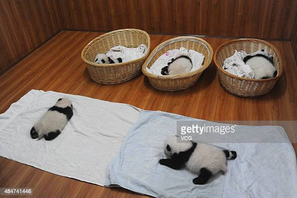 YA'AN CHINA AUGUST 21 Newborn panda cubs are seen at Ya'an Base on August 21 2015 in Ya'an Sichuan Province of China Ten newborn panda cubs born in...