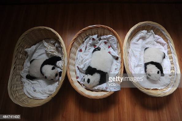 YA'AN CHINA AUGUST 21 Newborn panda cubs lie in baskets at Ya'an Base on August 21 2015 in Ya'an Sichuan Province of China Ten newborn panda cubs...