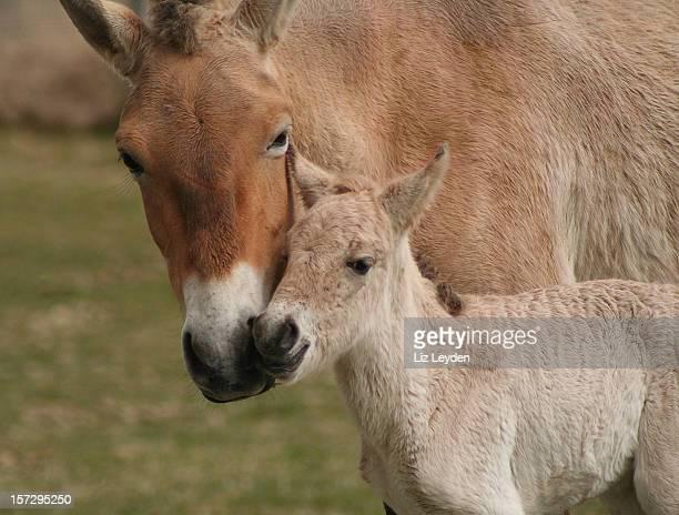 Newborn Przewalski's foal
