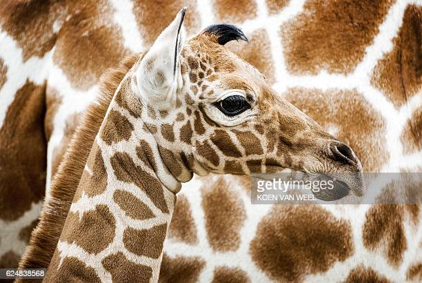 A newborn reticulated giraffe is seen for the first time in the savannah habitat at Artis Zoo in Amsterdam on November 21 2016 The calf is a week old...