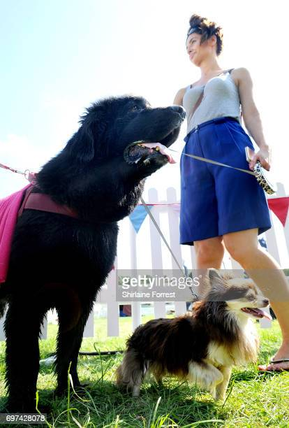 Newfoundland and 'brother' a long haired Chihuahua attend DogFest north hosted by Supervet Professor Noel Fitzpatrick at Arley Hall on June 18 2017...