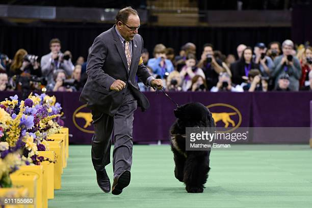 A Newfoundland competes in the Working Group during the second day of competition at the 140th Annual Westminster Kennel Club Dog Show at Madison...
