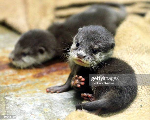 Newly born Asian shortclawed otters are seen at the Fukuoka Municipal Zoo on November 5 2013 in Fukuoka Japan The otters were born on August 5