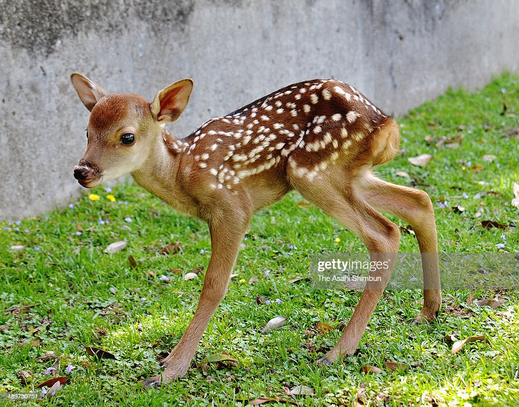 A newly born deerlet is seen at Rokuen, a deer shelter on May 11, 2014 in Nara, Japan.