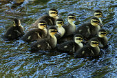 Newly born eleven ducklings seen on Onogawa River on April 26 2015 in Himeji Japan Local residents say each year the ducks migrate to their...