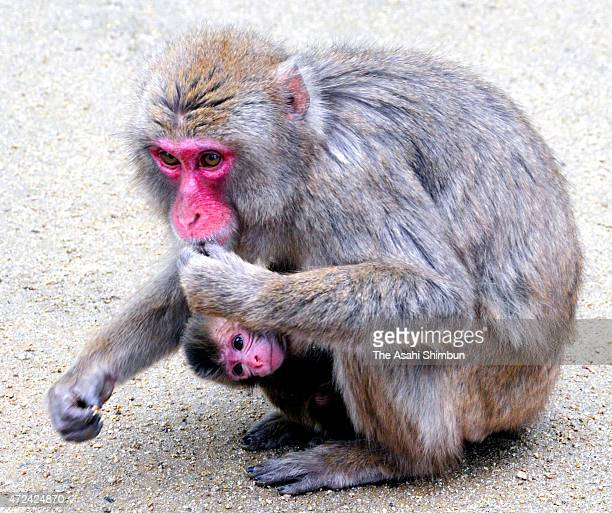 A newly born Japanese macaque monkey 'Charlotte' clings to her mother at the Mount Takasaki monkey park on May 7 2015 in Oita Japan The park named...