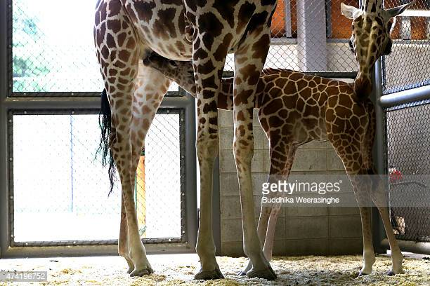 A newly born male giraffe drinks milk from his mother named Mimi in their enclosure in the Himeji Central Park on May 21 2015 in Himeji Japan The...