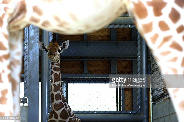 A newly born male giraffe stands under the his mother belly in their enclosure in the Himeji Central Park on May 21 2015 in Himeji Japan The baby...