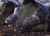 A newly born Pacific Harbor Seal meets another resident of Carpenteria's Harbor Seal Preserve the rookery is home to almost 100 adult seals who give...