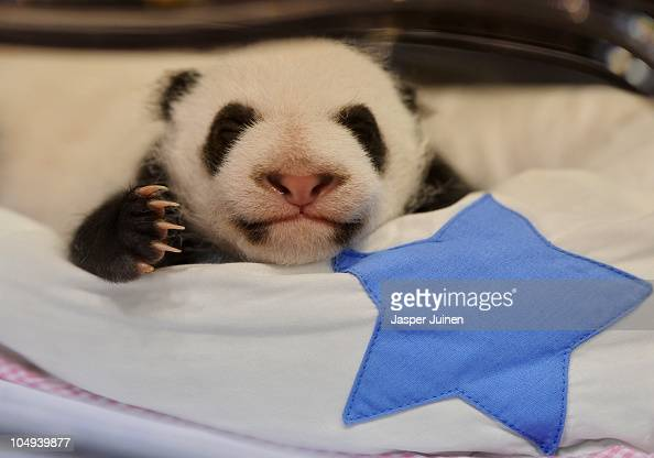 A newly born panda bear sleeps in it's incubator at the Madrid Zoo on October 7 2010 in Madrid Spain The giant panda cubs born today a month ago on...