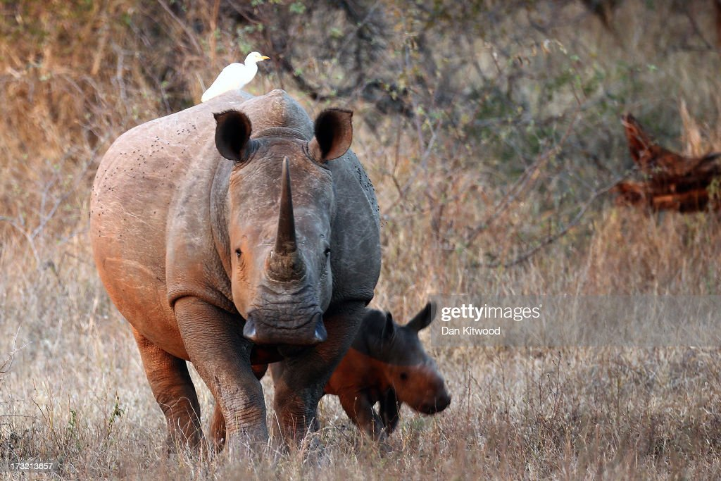 A newly born White Rhinoceros walks with it's mother in the Kruger National Park on July 7 2013 in Lower Sabie South Africa The Kruger National Park...
