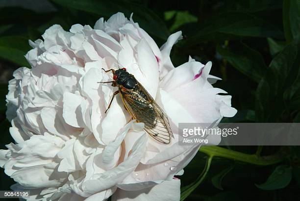 A newly emerged adult cicada dries its wings on a flower May 16 2004 at a park in Washington DC After 17years of living below ground billions of...