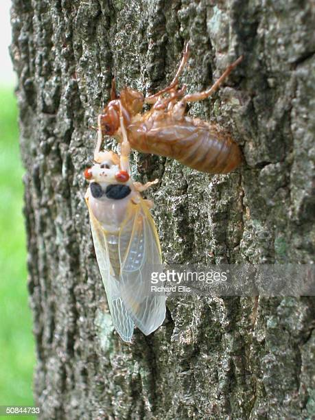 A newly emerged adult cicada sheds its exoskeleton on a tree May 16 2004 in Reston Virginia After 17years living below ground billions of cicadas...