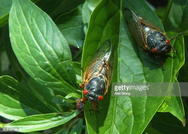 Newly emerged adult cicadas dry their wings May 16 2004 at a park in Washington DC After 17years of living below ground billions of cicadas belonging...