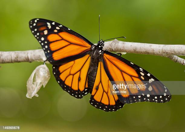 Newly emerged Monarch butterfly and its chrysalis