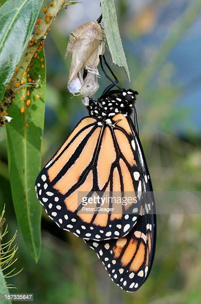 Newly emerged monarch butterfly