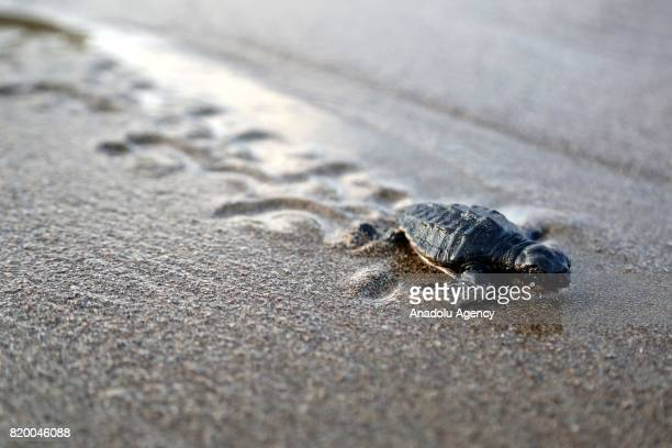 A newly hatched Loggerhead turtle makes its way to the Mediterranean Sea at Davultepe District's beach in Mersin Turkey on July 19 2017 Caretta...