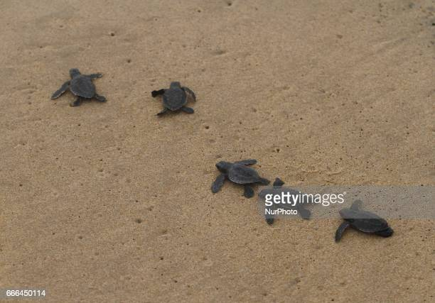 Newly hatched Olive Ridley turtle chicks enters into the Bay of Bengal Sea at the Rushikulya River mouth beach in Ganjam district of eastern Indian...
