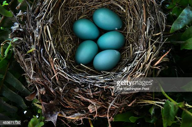 'Robin's Nest' Stock Photos and Pictures   Getty Images