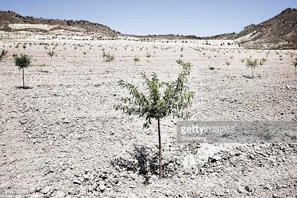 Newly planted fruit trees sit in a field in Yechar in Murcia province Spain on Friday July 11 2008 Demand for water on Spain's southern Mediterranean...