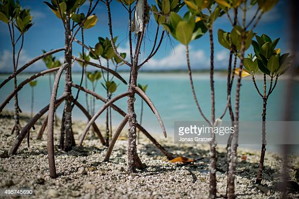 Newly planted mangrove trees along the coast of South Tarawa Mangrove trees are a natural form of protection from the sea but unfortunately the...