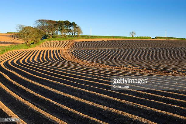 Newly planted potato field furrows, Pembrokeshire