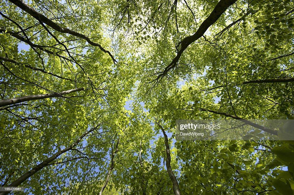Newly sprung beech forest : Stock Photo