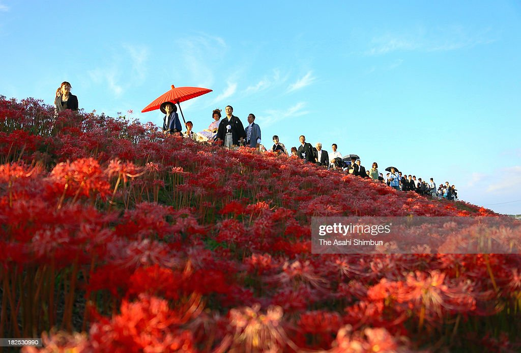 A newly wed couple and their family, relatives and friends march on the bank of Yakachi River where red spider lily are fully bloomed on September 29, 2013 in Handa, Aichi, Japan.