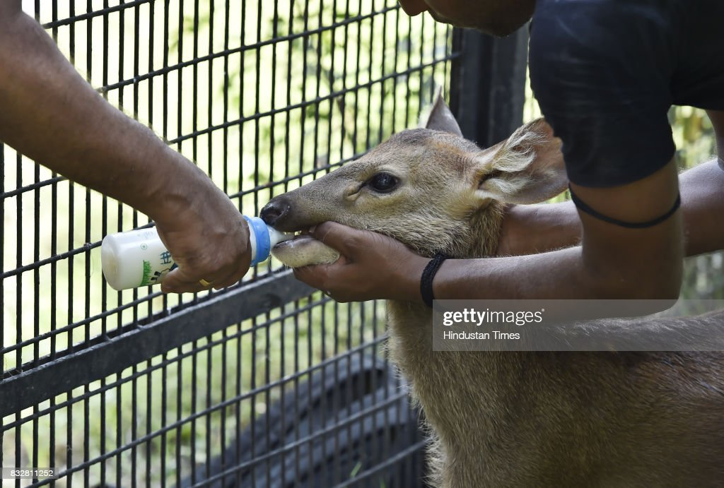 A newly-born Sambar fawn rejected by its mother has been adopted by Delhi Zoo on August 16, 2017 in New Delhi, India.