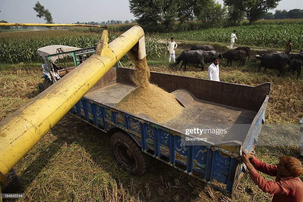 Newly-harvested rice is loaded onto a tractor trolley in a paddy field in the Chiniot district of Punjab province, Pakistan, on Saturday, Oct. 13, 2012. Rice exports from Pakistan, the fourth-largest shipper, are set to rebound from November with the new harvest after a rally in domestic prices and cheaper supplies from India cut shipments, a traders' group said. Photographer: Asad Zaidi/Bloomberg via Getty Images