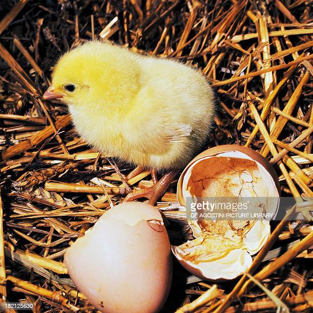A newlyhatched chick stands next to its egg Phasianidae