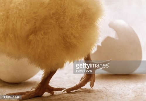 Newly-hatched chick walking away from broken eggshell, low section : Stock Photo