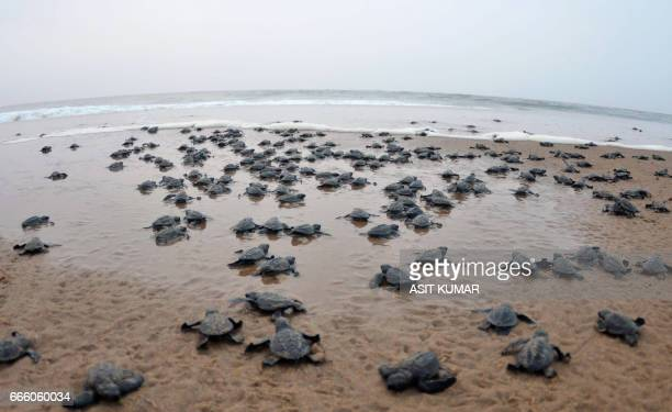 Newlyhatched Olive Ridley turtles make their way to the ocean at Rushikulya beach in Ganjam district 150 kilometres south of the eastern Indian city...