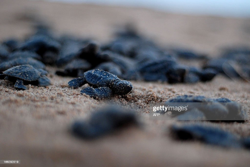Newly-hatched Olive Ridley turtles make their way to the ocean at Rushikulya river mouth beach in Ganjam district, 140 kilometers south of the eastern Indian city of Bhubaneswar, on April 11, 2013. Thousands of Olive Ridley sea turtles nest their eggs in parts of the Bay of Bengal Sea on the beach at Rushikulya. Millions of baby Olive Ridley turtles are hatching and entering the Bay of Bengal, one of the mass nesting sites in the Indian coastal state of Orissa.