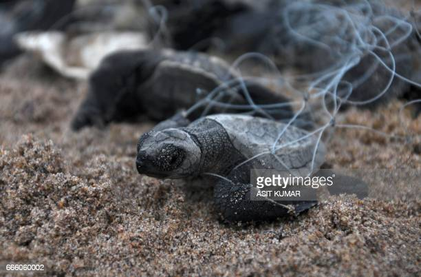 A newlyhatched Olive Ridley turtles struggles out of a fishing net as it attempts to reach the ocean at Rushikulya beach in Ganjam district 150...