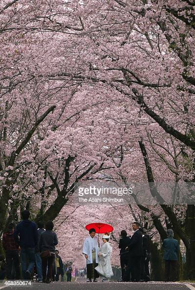 A newlywed couple in traditional kimonos pose for photographs under cherry blossom trees in full bloom at Mochio Park on March 31 2015 in Miyakonojo...