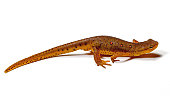 Close-up of Eastern Newt (Notophthalmus viridescens) on a white background