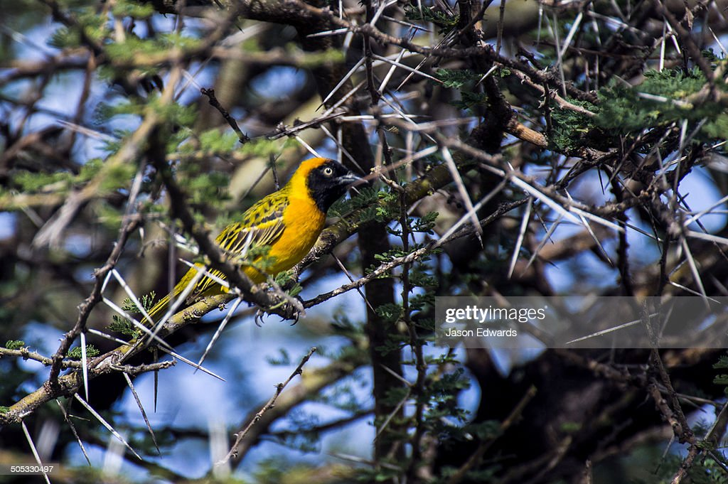 Lesser Masked Weaver roosting in a thorny acacia tree.