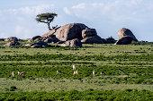 Thomson's Gazelles grazing on the short grass plains beneath a granite kopje.