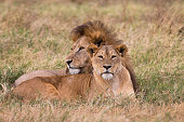 Ngorongoro Crater Lion mating couple