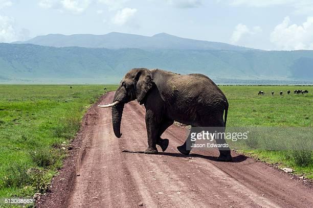An African Elephant crossing a dirt road on the savannah plain of a volcano caldera.