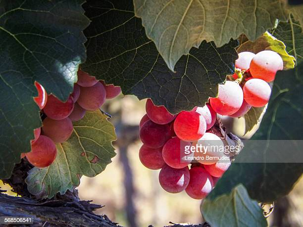 Niagara grapes