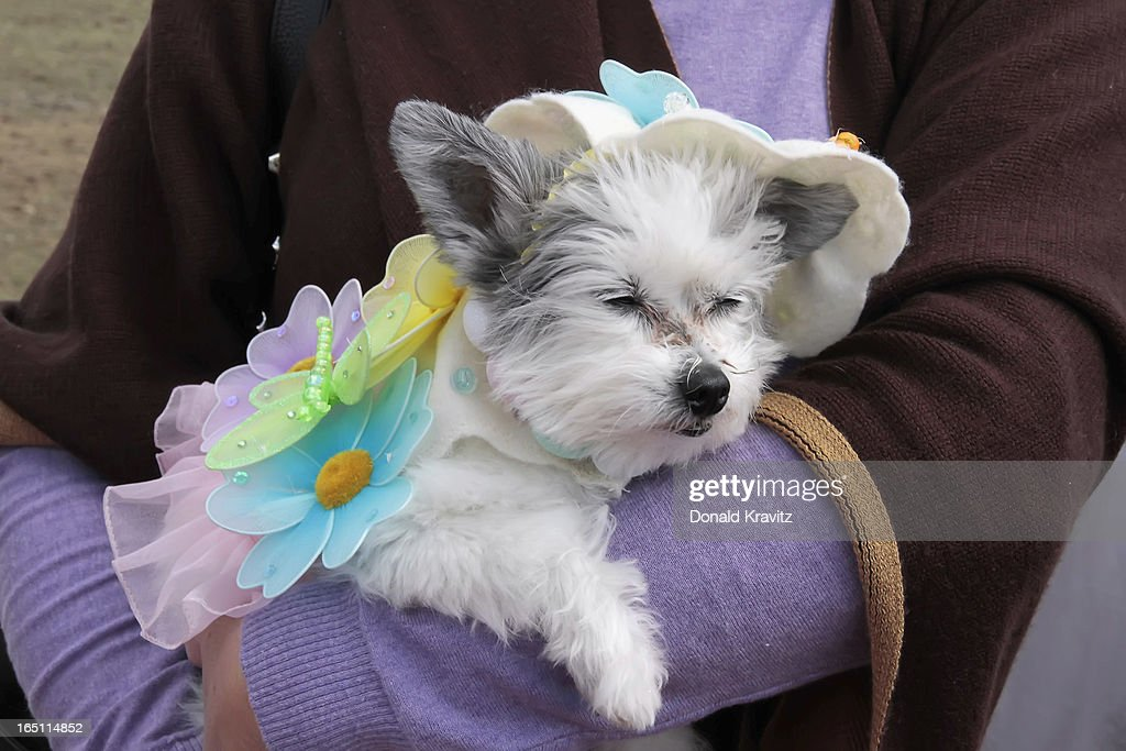 Nibby, a Papillon-Tes, attends the Woofin Paws pet fashion show at Carey Field on March 30, 2013 in Ocean City, New Jersey.