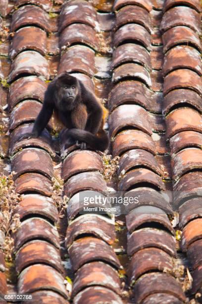 Nicaragua, Ometepe Island. Howler monkey on tile roof.