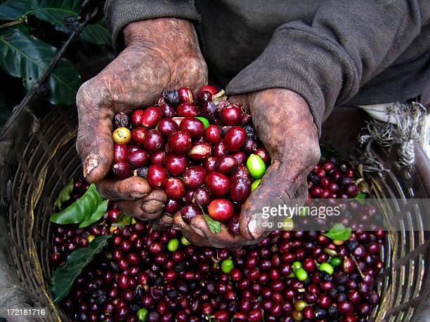 Nicaraguanischer Kaffee Picker