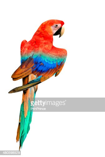 Nice back feathers profile of Colorful Macaw bird isolated : Stock Photo