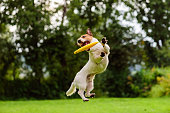 Active dog playing on a lawn