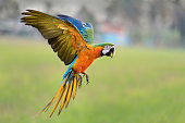 beautiful macaw flying in nature