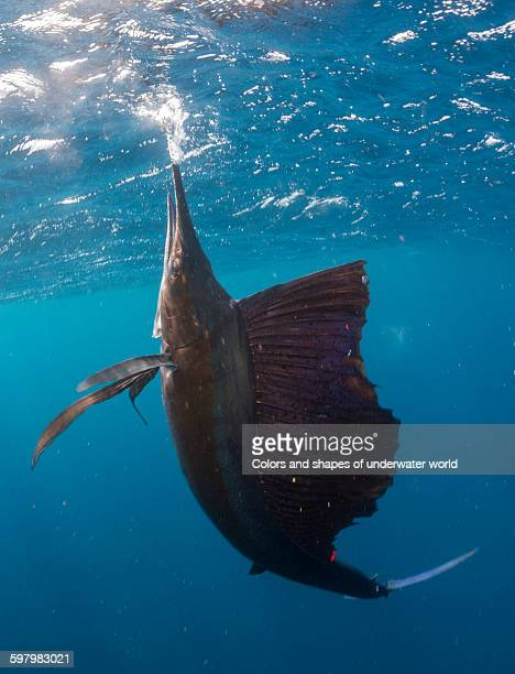 Nice pose of Atlantic Sailfish